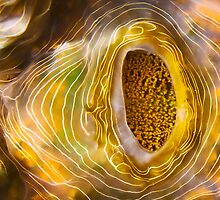 Clam Contours by Dieter Tracey