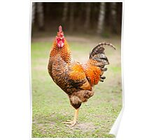 beautiful young Rhode Island Red cock Poster