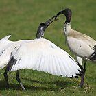 Australian White Ibis, Juvenile Begging by Carole-Anne