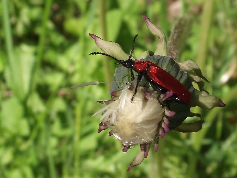 Pyrrhidium sanguineum_Longhorn Beetle by SophiaDeLuna