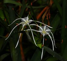 Hymenocallis  or spider lily by Bluecornstudios