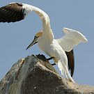 Precison landing, gannet, Saltee Islands, County Wexford, Ireland by Andrew Jones