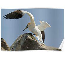 Precison landing, gannet, Saltee Islands, County Wexford, Ireland Poster