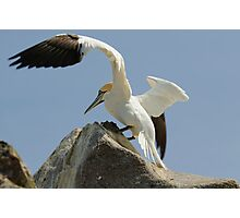 Precison landing, gannet, Saltee Islands, County Wexford, Ireland Photographic Print