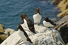 Every angle covered, razorbills, Saltee Island, County Wexford, Ireland  by Andrew Jones
