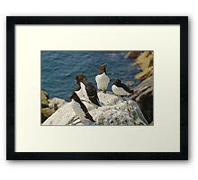 Every angle covered, razorbills, Saltee Island, County Wexford, Ireland  Framed Print