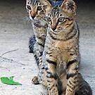 Kitten duo by IngeHG