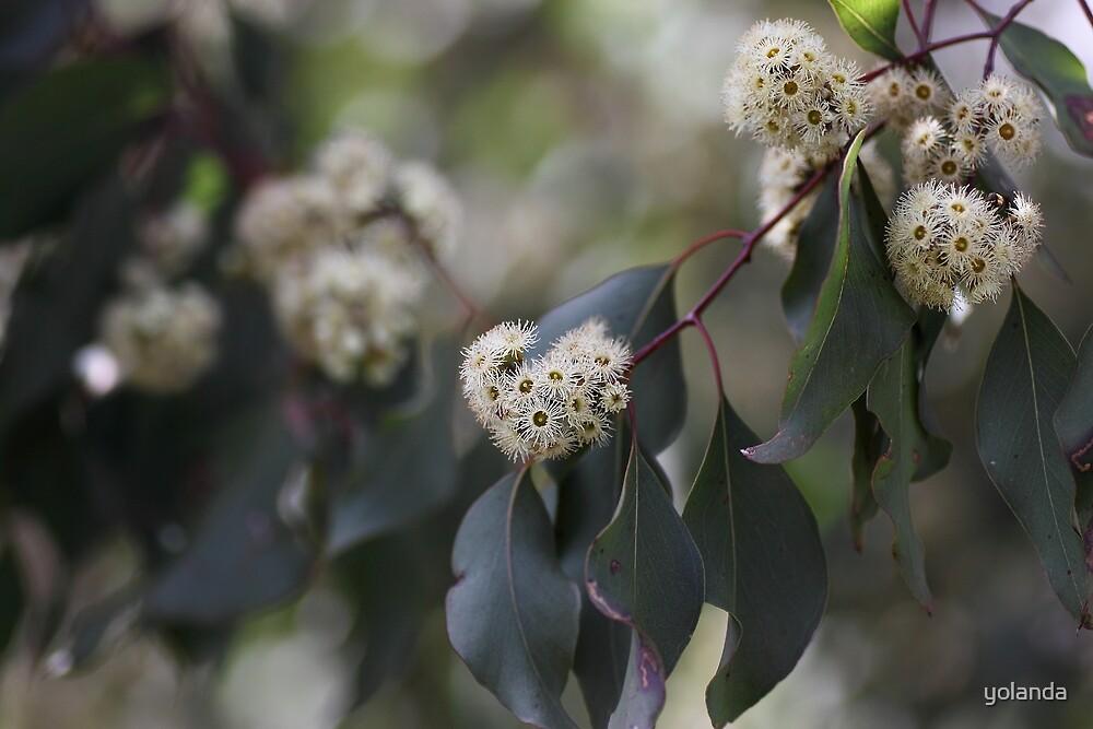 White Eucalyptus Flowers by yolanda