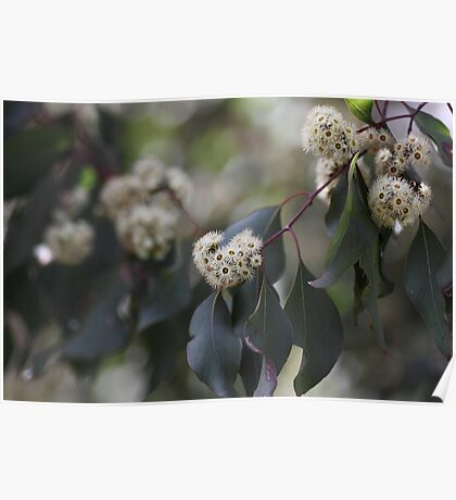 White Eucalyptus Flowers Poster