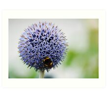 Bumble Bee and Azure Allium Art Print
