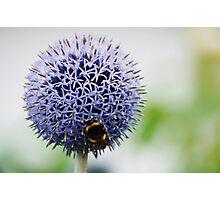 Bumble Bee and Azure Allium Photographic Print