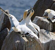 Jealous onlooker, gannets, Saltee Island, County Wexford, Ireland by Andrew Jones