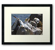 Jealous onlooker, gannets, Saltee Island, County Wexford, Ireland Framed Print