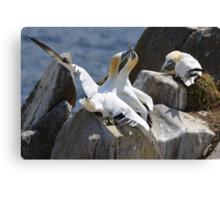 Jealous onlooker, gannets, Saltee Island, County Wexford, Ireland Canvas Print