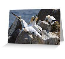 Jealous onlooker, gannets, Saltee Island, County Wexford, Ireland Greeting Card