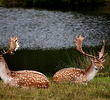 Fallow Pair by David J Knight