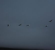 whooper swans in flight, Iceland by lukasdf