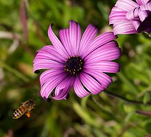 GILLY FLOWER BEE by normanorly