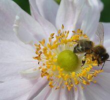 Honey Bee. by Dorothy Thomson
