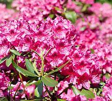 Azalea blossoms bunch by Arletta Cwalina