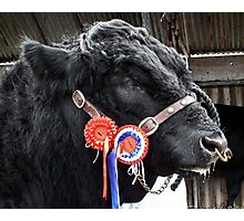 Prize Bull Photographic Print