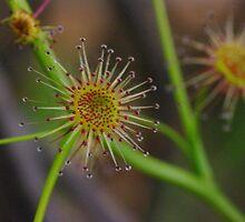 Sundew (sticky flower vine) by BigAndRed