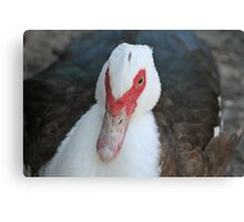 Fowl Duck  Canvas Print