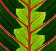 Green leaf with red veins  by homydesign