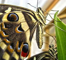 Swallowtail Butterfly  by James Taylor