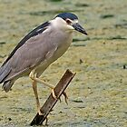 Black-crowned Night Heron by KatMagic Photography