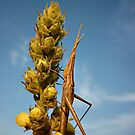 Nosed Grasshopper ( Arcida hungarica) by Istvan Natart