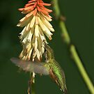 Female Rufous In My Garden by Diana Graves Photography