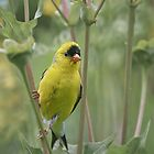 American Goldfinch (aka The Masked Bandit) by KatMagic Photography