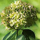 *Just Green Hydrangea* by Darlene Lankford Honeycutt