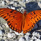An unusually bright colored gulf fritillary butterfly by jozi1