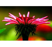 Silky Cone Flower Photographic Print