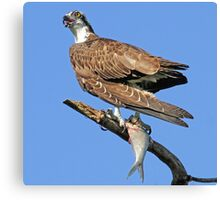 Osprey with catch(Licking my lips in anticipation!) Canvas Print