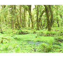 Old Growth forest in Washington State Photographic Print