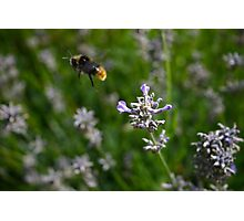Bee in motion Photographic Print
