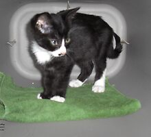 Magic Carpet Kitten by Dayonda