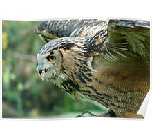 Eagle Owl Ready for Take Off Poster