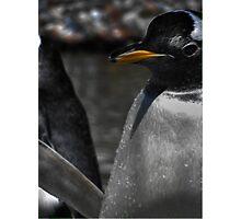 Penguin, Edinburgh Zoo Photographic Print