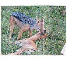 Jackal kills a gazelle Poster