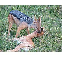 Jackal kills a gazelle Photographic Print