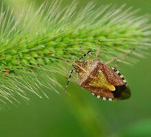 stink bug by davvi