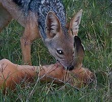 Jackal kills a young gazelle by Panayiotis Zavros