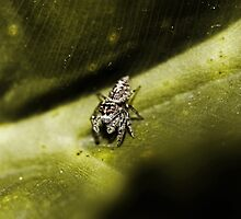 An Ipsy Bitsy Spider by Evita