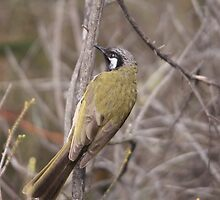 White-eared Honeyeater by mosaicavenues