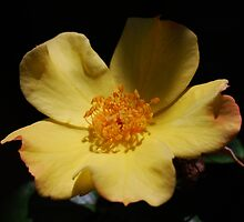 Yellow Simplex Rose by Ron Hannah
