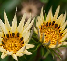 Mini Sunflowers by MattReeves
